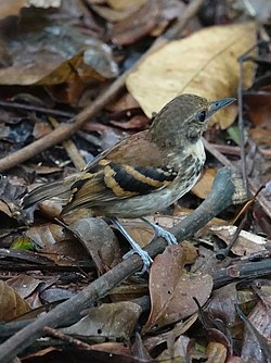 Checker-throated antwren (40890545971).jpg