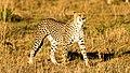 Cheetah, Seronera Valley, Serengeti, Tanzania (33293491753).jpg