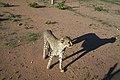 Cheetah Conservation Fund (5832920955).jpg