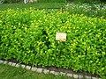 Chelidonium majus - Berlin Botanical Garden - IMG 8528.JPG