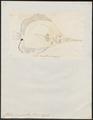 Chelmo longirostris - 1700-1880 - Print - Iconographia Zoologica - Special Collections University of Amsterdam - UBA01 IZ13100193.tif