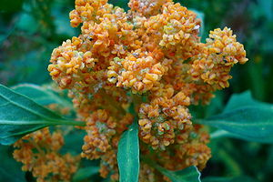 Chenopodium quinoa flowering