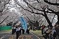 Cherry Blossoms 2 at National Printing Bureau's Odawara Plant.jpg