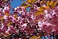 Cherry blossom (5602339483).jpg