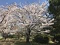 Cherry blossoms 20180328-1.jpg