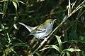 Chestnut-sided Warbler (16537827416).jpg