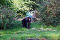 Chimpanzees at Chester Zoo 1.jpg
