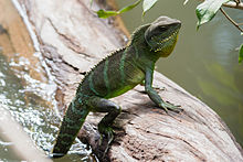 Chinese Water Dragon (Physignathus cocincinus) - Khao Yai National Park - 1.jpg