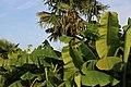 Chinesische Hanfpalme (Trachycarpus fortunei) Japanische Faser-Banane (Musa basjoo) Blumengärten Hirschstetten Wien 2014 b.jpg