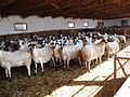 Chios sheep breed.jpg