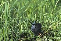 Chlidonias niger (Marek Szczepanek)