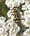 Chlorophorus varius up.JPG