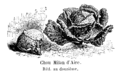 Chou Milan d'Aire Vilmorin-Andrieux 1904.png