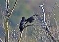 Choucas des tours le couple Corvus monedula (51097517665).jpg