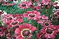 Chrysanthemum from lalbagh7263.JPG