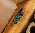Chrysura radians. Cuckoo (or Jewel) Wasp (35790632441).jpg