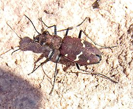 Cicindela sylvatica rubescens up.jpg
