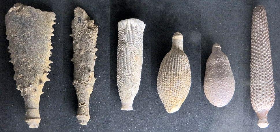Cidaridae - radiola (cropped)
