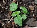 Circaea alpina kz03.jpg