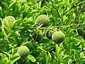 Citrus trifoliata Poncyria trójlistkowa 2013-08-11 01.jpg
