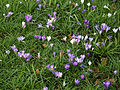 City of London Cemetery and Crematorium - crocuses 01.jpg