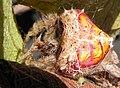 Cladomelea debeeri Bolas spider spiral patterns.jpg
