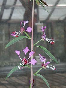 「Clarkia exilis」的圖片搜尋結果
