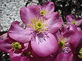 "Clematis montana ""rubens"" flower.JPG"