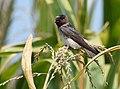 Cliff Swallow - juvenile (29135100267).jpg