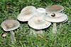 Clitocybe candicans - Lindsey.jpg
