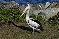 Clontarf Pelican-1 (42702600514).jpg
