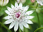 Closeup of Astrantia Major flower.jpg