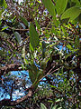 Cockspur Coral Tree (Erythrina crista-galli) leaves and seed pods.jpg