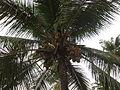 Coconut Tree - തെങ്ങ് 03.JPG