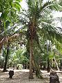 Coconut trees.jpg