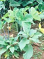 Cocoyam leaves 002.jpg