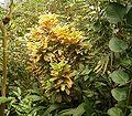 Codiaeum variegatum BZ ies.jpg