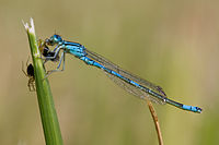 Coenagrion scitulum-male.jpg