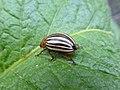 Colorado potato beetle pooping! 01.jpg