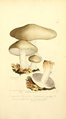 Coloured Figures of English Fungi or Mushrooms - t. 209.png