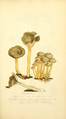 Coloured Figures of English Fungi or Mushrooms - t. 47.png