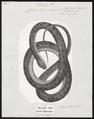 Coluber hippocrepis - 1700-1880 - Print - Iconographia Zoologica - Special Collections University of Amsterdam - UBA01 IZ12100185.tif