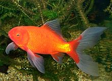 Comet Goldfish With Fry.JPG