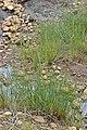 Common Arrowgrass (Triglochin maritima) - Gros Morne National Park, Newfoundland 2019-08-17.jpg