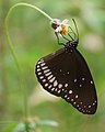Common Crow butterfly.jpg