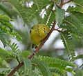 Common Iora (Aegithina tiphia) in Narshapur, AP W IMG 1144.jpg