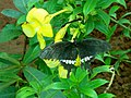 Common Mormon (Papilio polytes) at IG Zoo Park 03.JPG