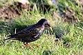 Common Starling (Sturnus vulgaris), Oxfordshire.jpg