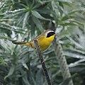 Common Yellowthroat (5054187406).jpg