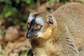 Common brown lemur (Eulemur fulvus) female head.jpg